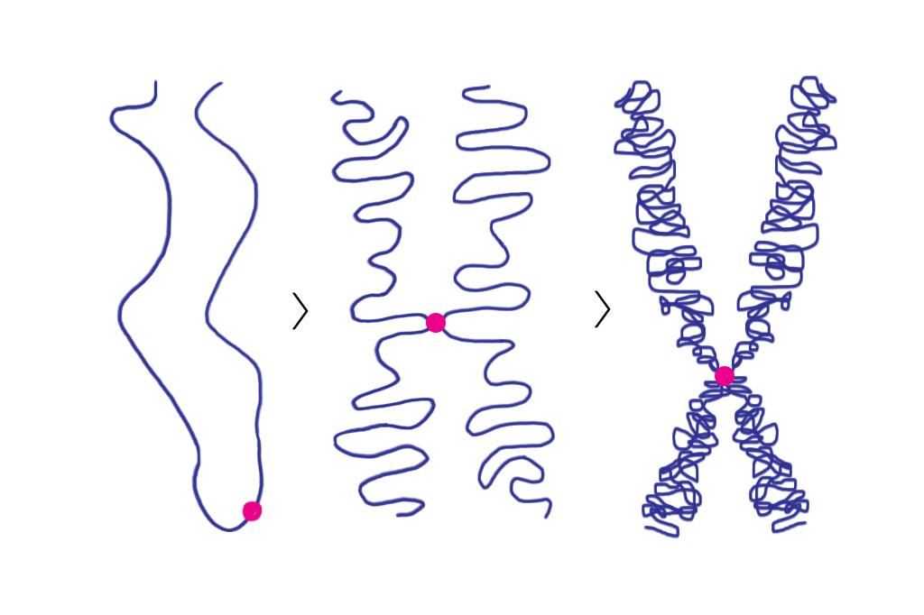 Ilustração mostrando um cromossomo em três diferentes ampliações.