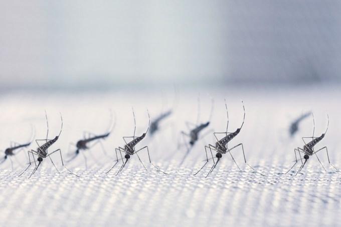 Transmissão da dengue reduzida em 77% a partir de mosquitos infectados com bactéria