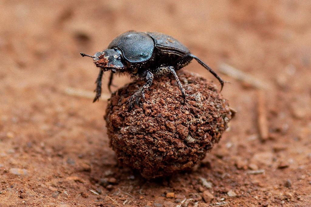Foto de um besouro rola-bosta com sua bolinha de esterco.
