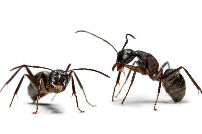 Abelhas e formigas têm ferramentas para reconhecer cada indivíduo da colônia