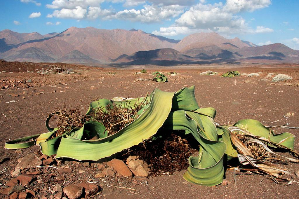 Foto da Welwitschia mirabilis.
