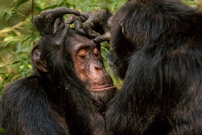 Bonobos e chimpanzés parecem ter saudações de Olá e Tchau