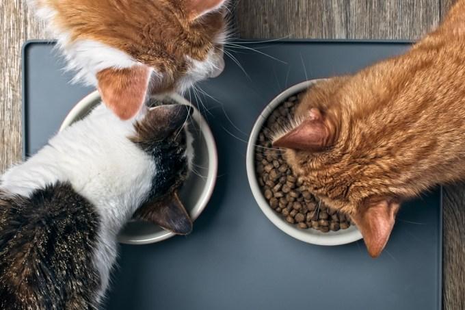 Estudo revela como os gatos gostam de receber sua comida