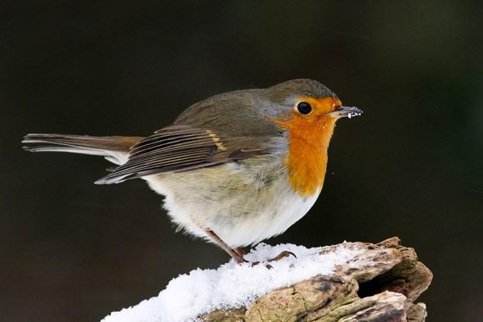 ORCL Como as aves migratórias se guiam com o campo magnético da Terra