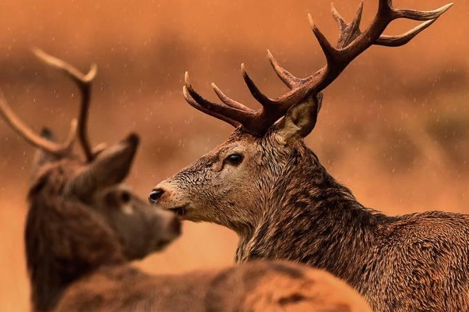 Pesquisadores encontram anticorpos contra a covid-19 em cervos dos Estados Unidos