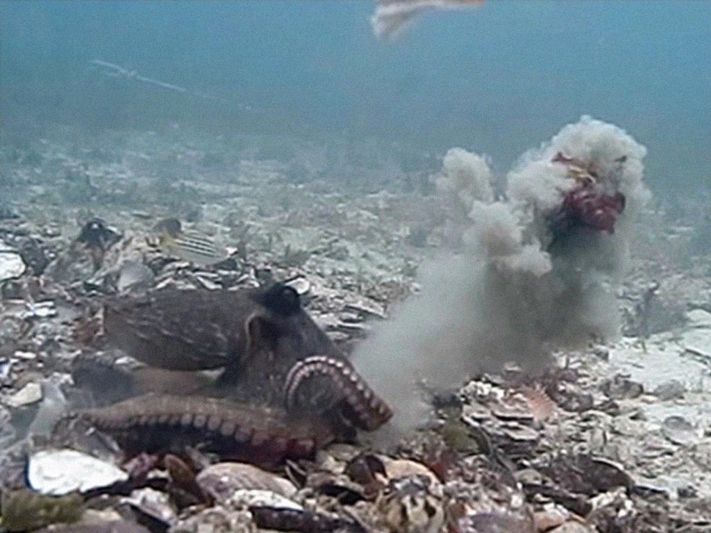 Polvo fêmea lançando pedras do fundo do mar em macho.