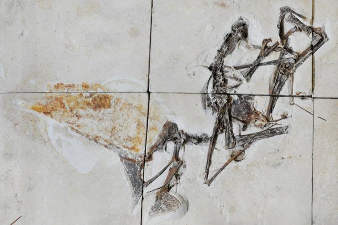 Fóssil de pterossauro recuperado pela Polícia Federal revela detalhes do animal