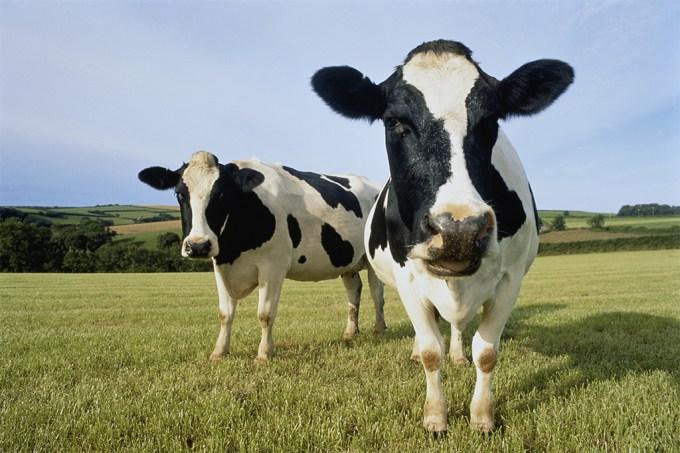 Cientistas ensinam vacas a usar penico contra o aquecimento global