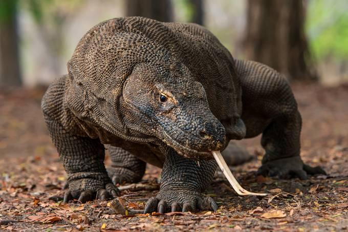 Dragão de komodo entra na lista de espécies ameaçadas de extinção