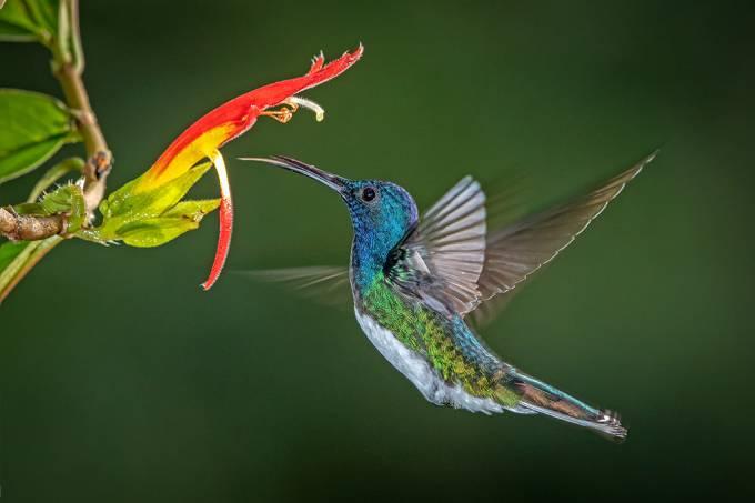 Beija-flores evitam assédio parecendo com pássaros machos