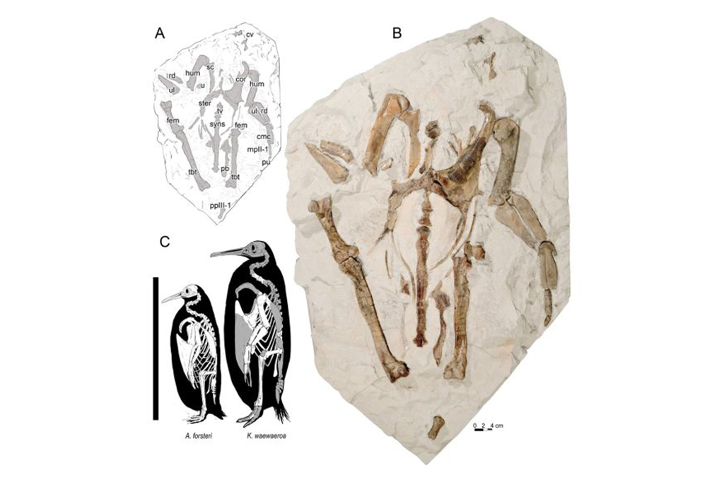 (C) Skeletal and size comparison of Kairuku waewaeroa and emperor penguin, Aptenodytes forsteri. Três imagens: um desenho da espécie Kairuku waewaeroa, uma foto dos ossos da espécie, e uma ilustração comparando o Kairuku waewaeroa e o pinguim imperial, Aptenodytes forsteri.