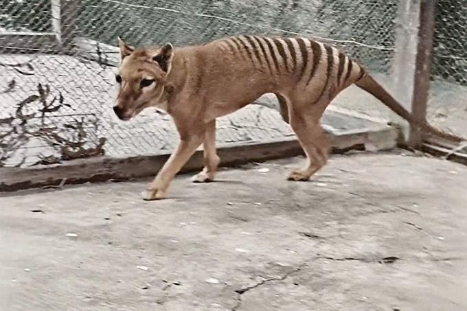 Austrália divulga primeiro vídeo colorido de um tigre-da-tasmânia. Assista