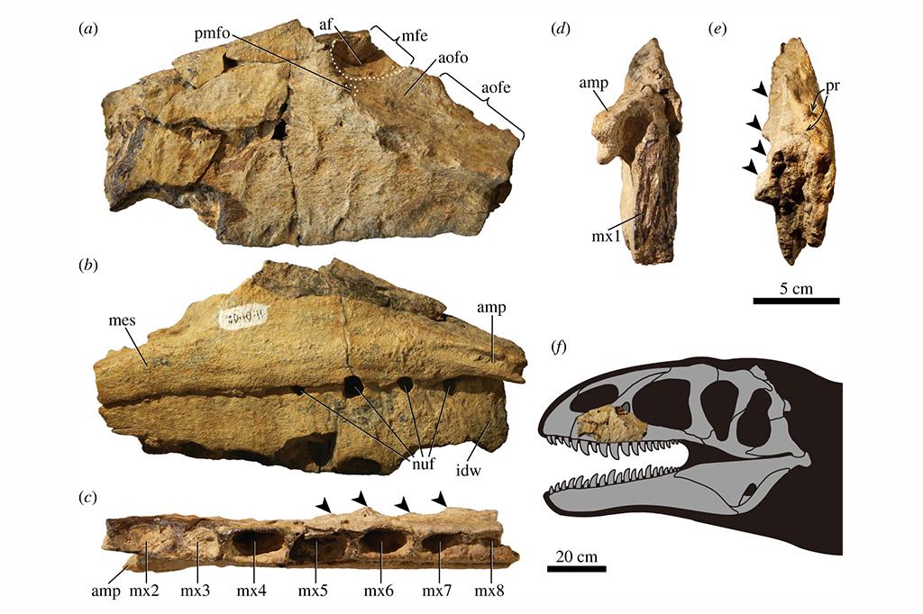 Imagens do maxilar esquerdo do Ulughbegsaurus e uma reconstrução de seu crânio