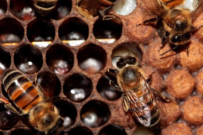 Bzzzzzz Como as abelhas não ficam grudadas no mel quando passam pelo favo