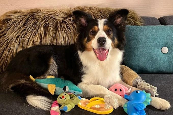 Cachorros geniais aprendem o nome de mais de cem brinquedos em estudo