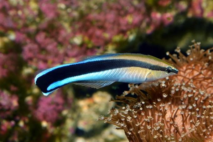Peixes limpadores identificam quando podem ou não trapacear em seu trabalho