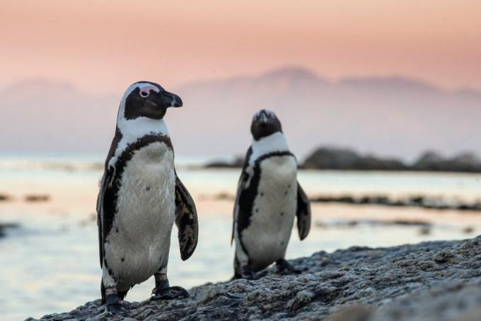 Pinguins conseguem reconhecer rostos e vozes uns dos outros, indica estudo