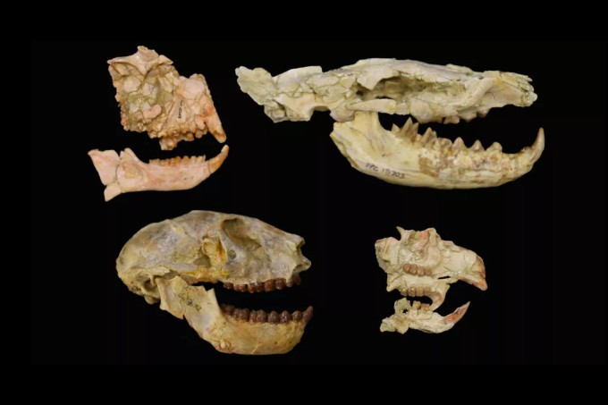 Evento de extinção matou 60% dos primatas na África há 34 milhões de anos